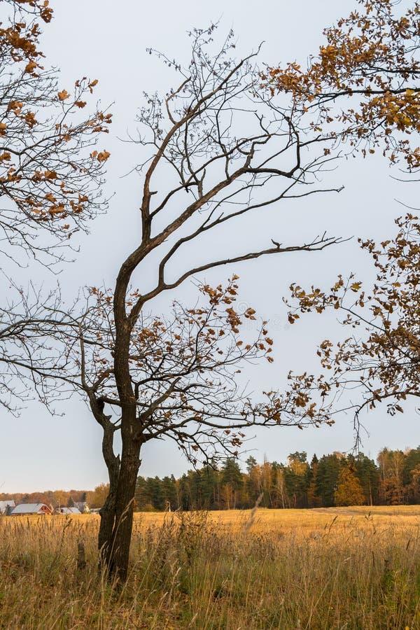 Melankoliskt höstlandskap Det nästan avlövade barnet böjde trädet på det blekna fältet i en molnig afton royaltyfri fotografi