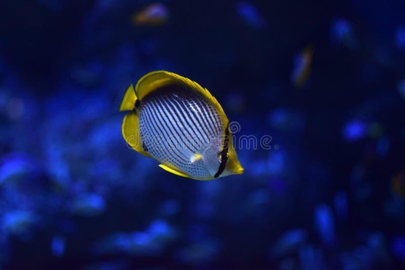 Melannotus di Chaetodon di pesce angelo di Blackback fotografia stock libera da diritti