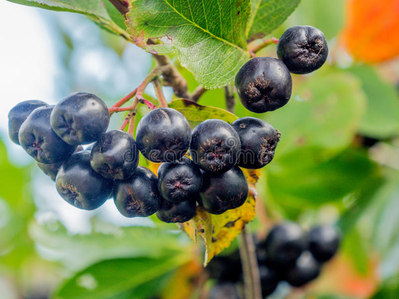 Melanocarpa ashberry noir d'Aronia image libre de droits