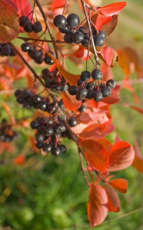 Melanocarpa van Aronia royalty-vrije stock foto's