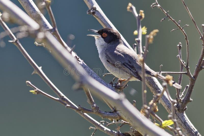 Melanocephala Curruca, melanocephala Сильвия, Sardinian певчая птица стоковое фото rf