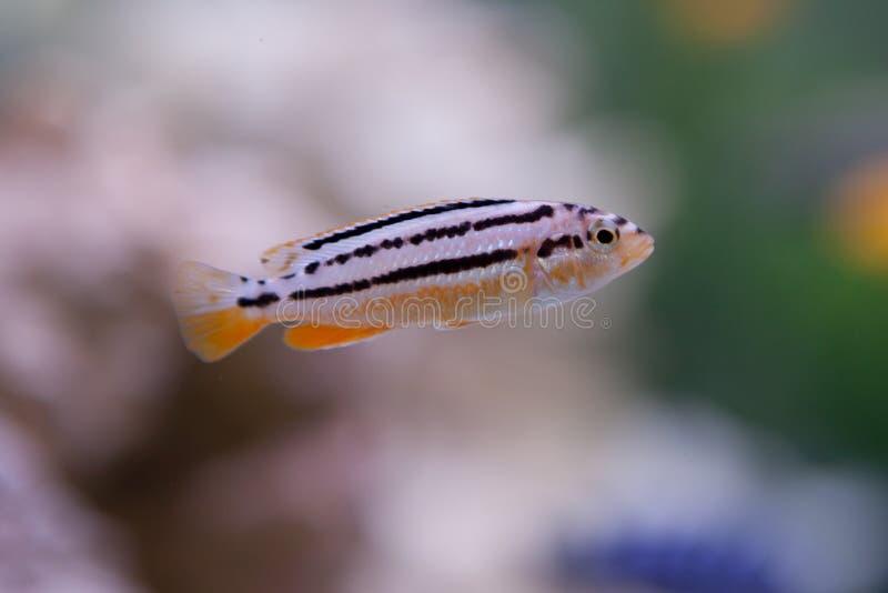Melanochromis auratus immagine stock