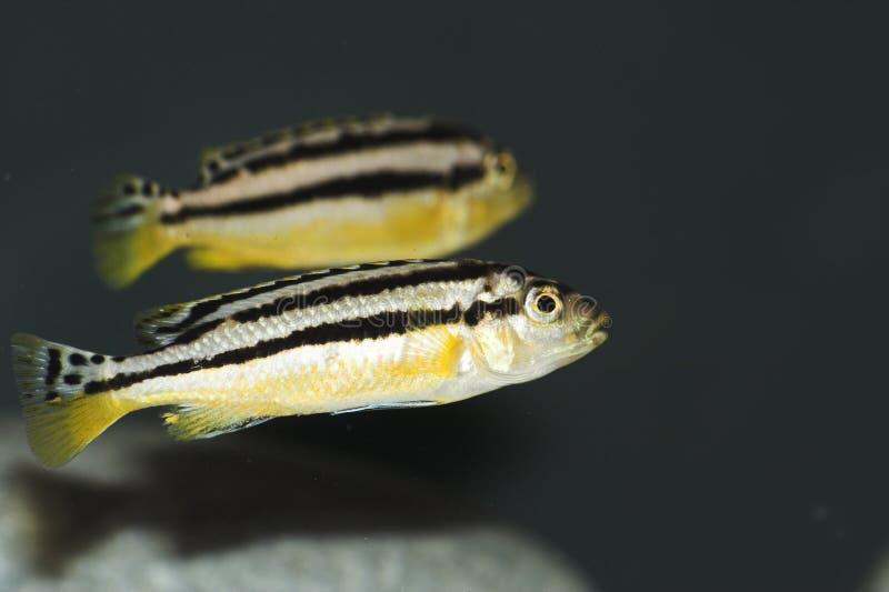 Melanochromis Auratus stock photos