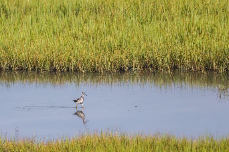 Melanoleuca selvagem do Tringa do pássaro do maior Yellowlegs foto de stock