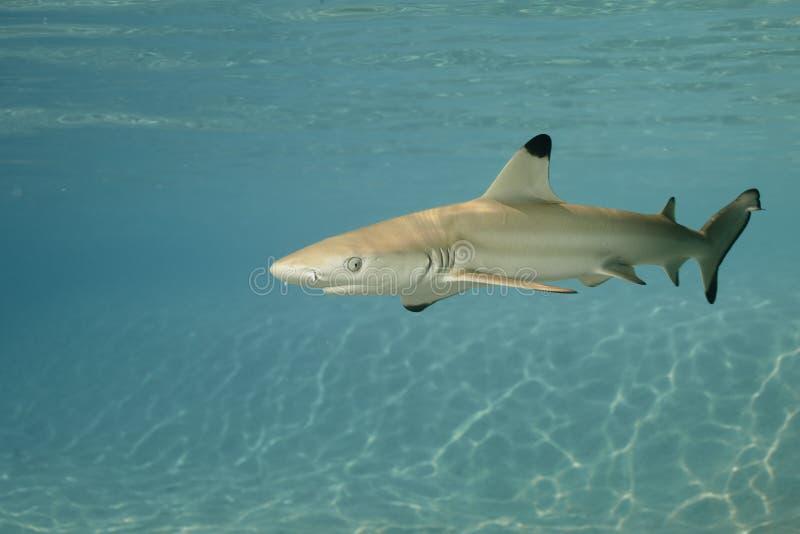 Melanopterus 01 do carcharhinus do tubarão do recife de Blacktip imagens de stock