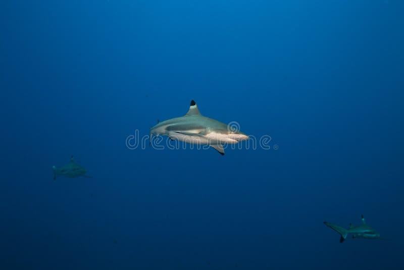 Melanopterus de Carcharhinus de requin de récif de Blacktip image libre de droits