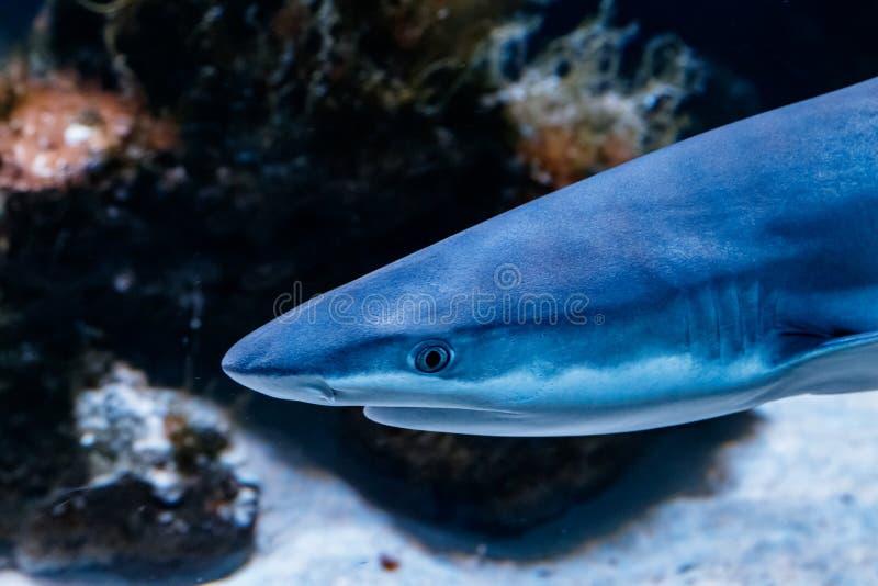 Melanopterus för carcharhinus för haj för makrorevsvart royaltyfri bild