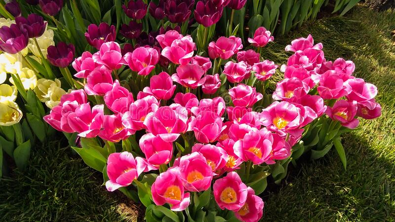 Melbourne, Australia. March 29, 2017: pink tulips. Flowers stock photos