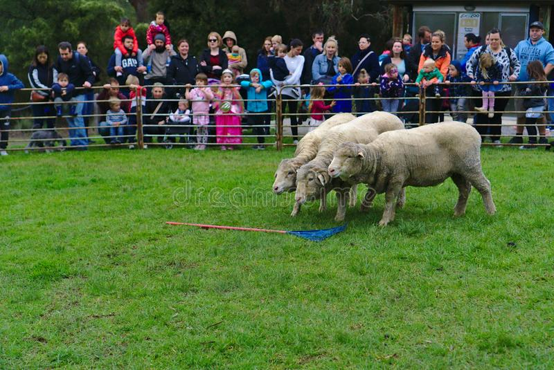 Three sheep performing with cheering crowd in background royalty free stock photography