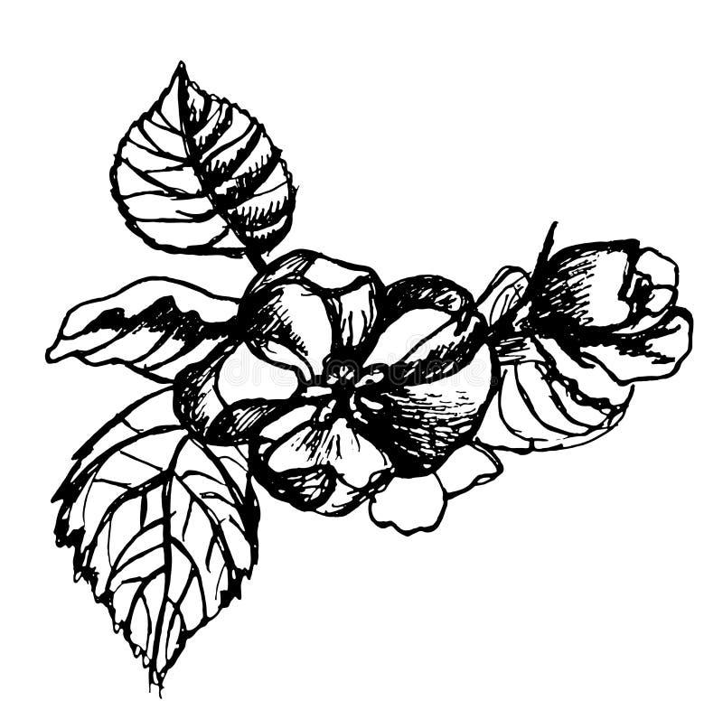 Download Mele Del Fiore Di Schizzo Su Un'illustrazione Del Ramo Illustrazione Vettoriale - Illustrazione di bello, botanica: 56888251
