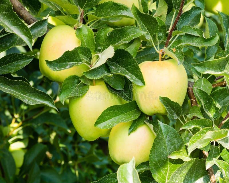 Mele di mela golden nell'albero fotografia stock