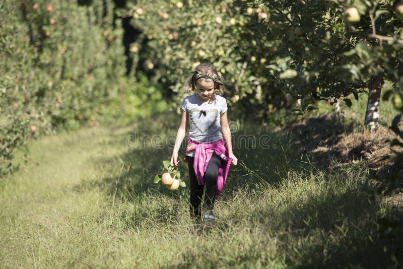 Mele di raccolto della bambina fotografia stock libera da diritti