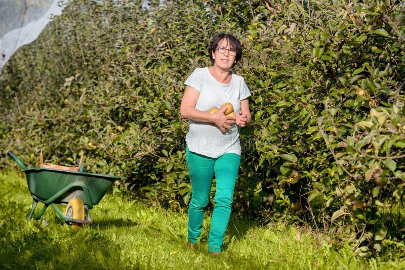 Mele di raccolto della donna nel frutteto fotografia stock