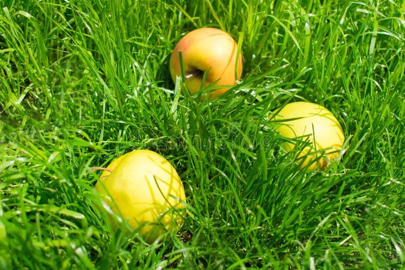 Mele gialle su erba verde immagine stock