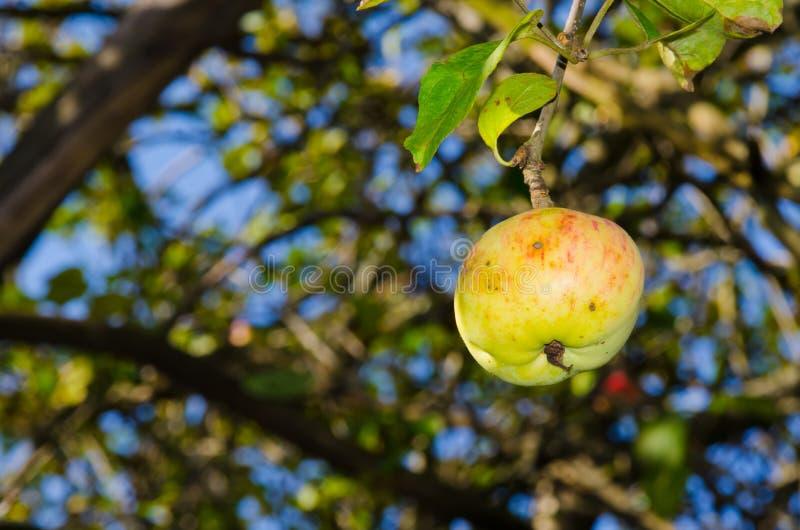 Mele mature su un albero fotografia stock libera da diritti
