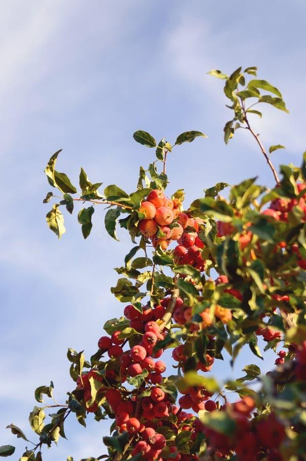 Mele mature sull'albero fotografia stock libera da diritti