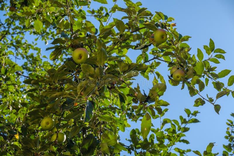 Mele mature sull'albero fotografia stock