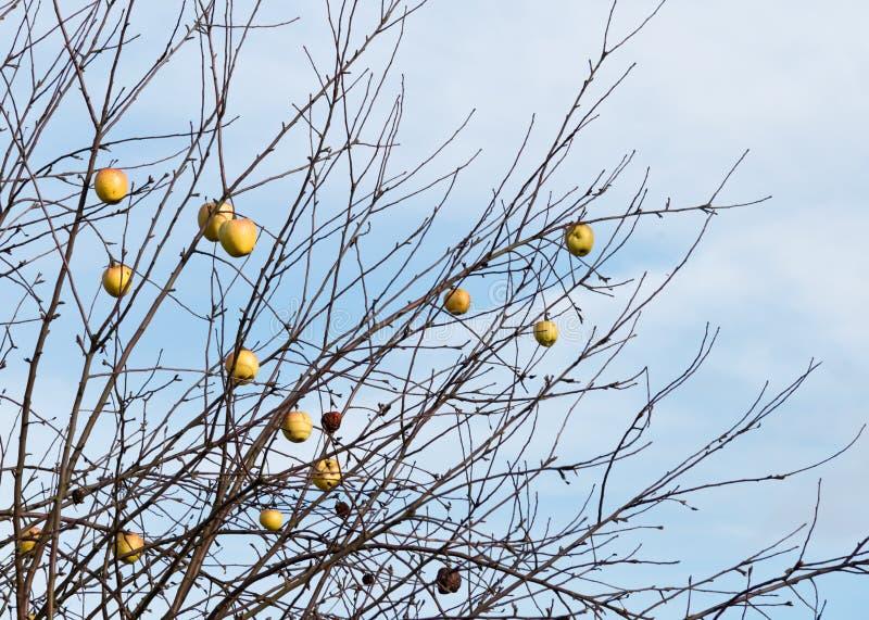 Mele nell'inverno fotografie stock libere da diritti