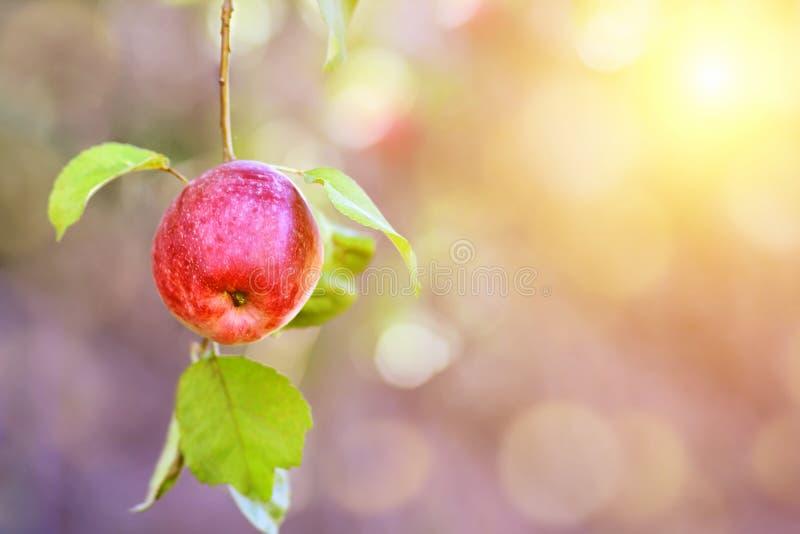 mele organiche rosse sull'albero nel fondo soleggiato di estate con lo spazio della copia fotografia stock