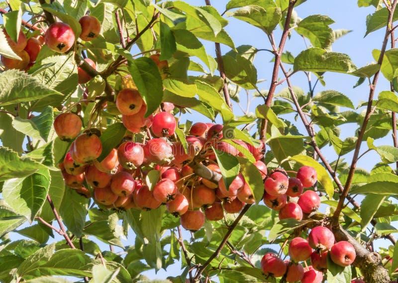 Mele rosse di paradiso che appendono su un albero in giardino Ramo decorativo di melo di paradiso con i frutti fotografia stock libera da diritti