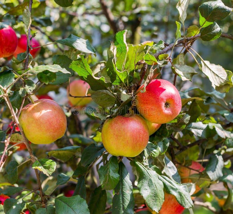 Mele rosse e gialle organiche mature su di melo in giardino Mele del raccolto di estate fotografia stock