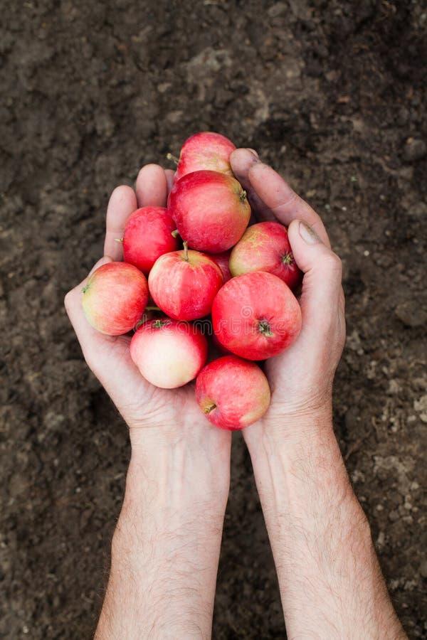 Mele rosse fresche perfette Due mani tenendo le mele rosse sul fondo del suolo immagini stock