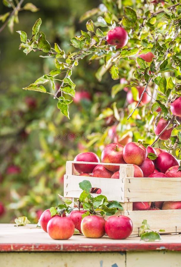 Mele rosse mature fresche in cassa di legno sulla tavola del giardino fotografie stock libere da diritti