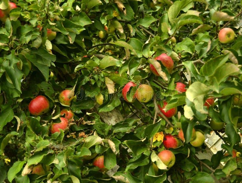 Mele rosse mature fresche su un albero nel giardino Giardino del raccolto di autunno ed orto Frutta e verdure sane immagine stock