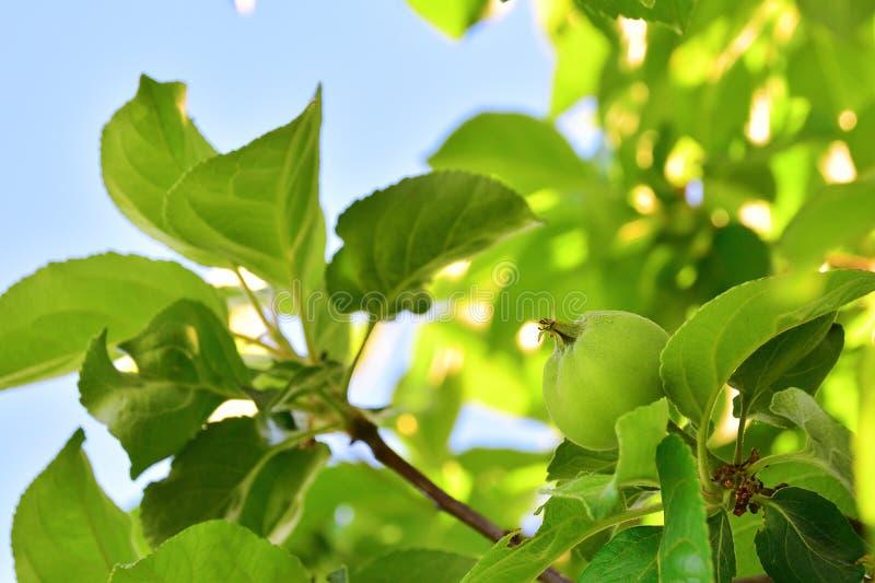 Mele verdi non mature sull'albero Ramo di melo con i frutti I nuovi frutti non sono maturi su un primo piano del ramo sui precede fotografia stock libera da diritti