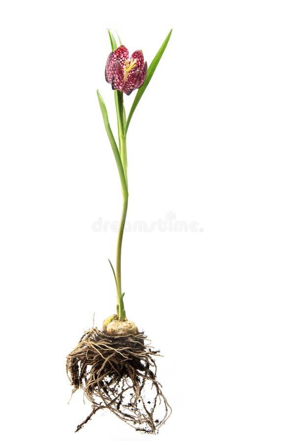 Meleagris di Fritillaria della fritillaria della testa del ` s del serpente o del fiore di scacchi fotografia stock libera da diritti