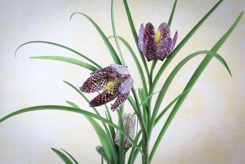 Meleagris do Fritillaria - lírio Checkered fotos de stock royalty free