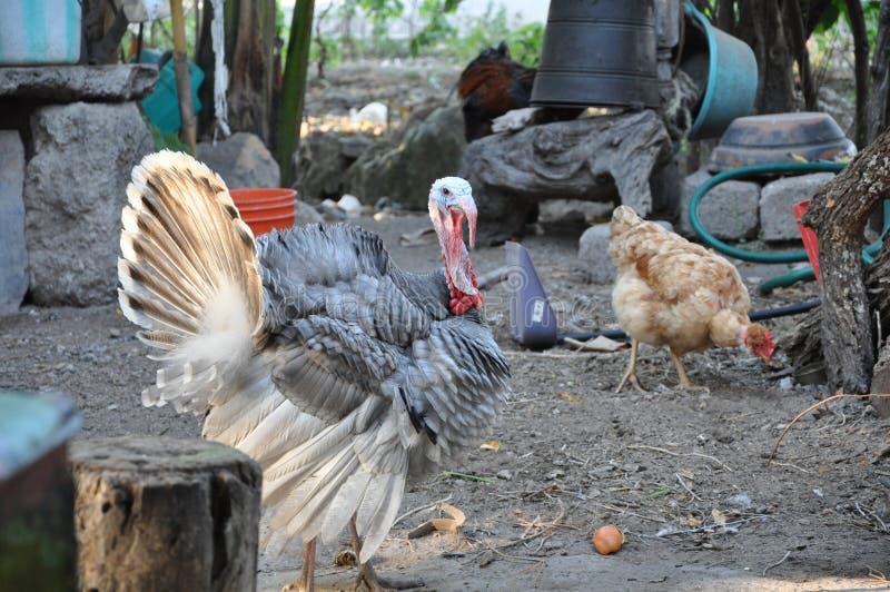 Meleagris Gallopavo, una Turquía salvaje en naturaleza foto de archivo libre de regalías