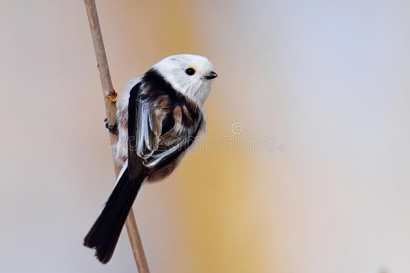 Melharuco atado longo no habitat natural (caudatus dos aegithalos) fotos de stock