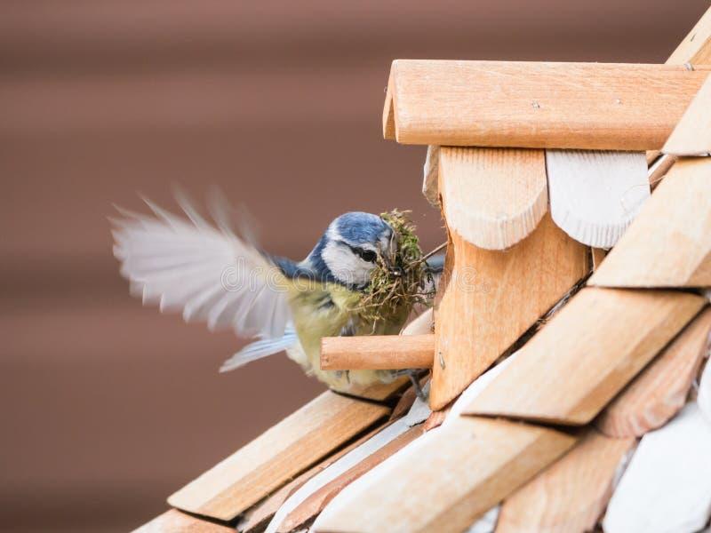Melharuco azul que constrói um ninho em uma casa do pássaro fotografia de stock