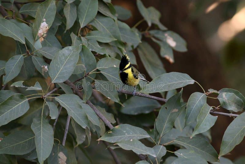 Melharuco lored preto indiano imagens de stock