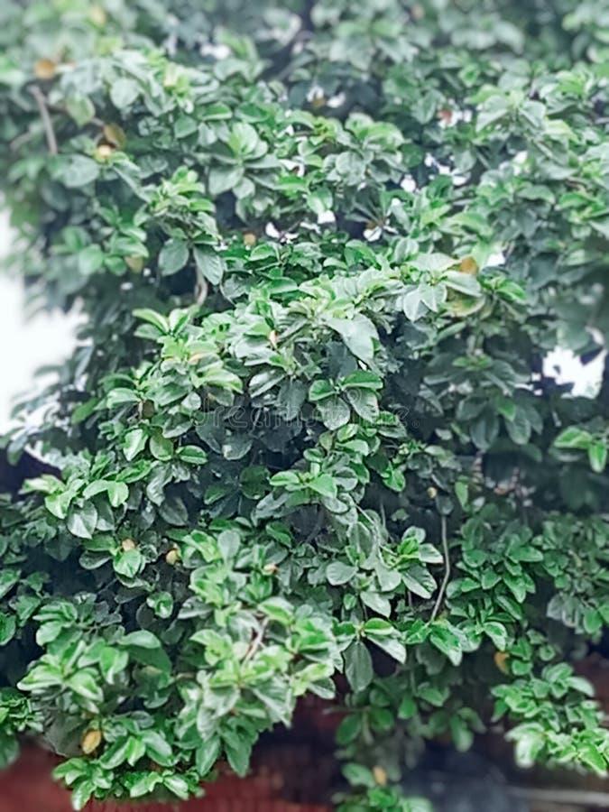 A melhor árvore em india que chama a árvore do loi imagens de stock royalty free