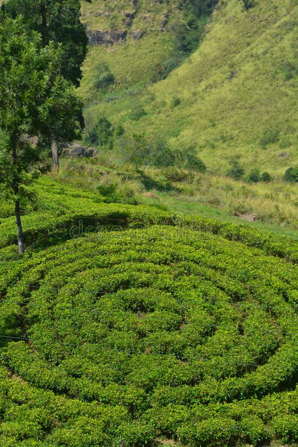 Melhor circular da planta??o de ch? do ch?, Sri Lanka fotografia de stock