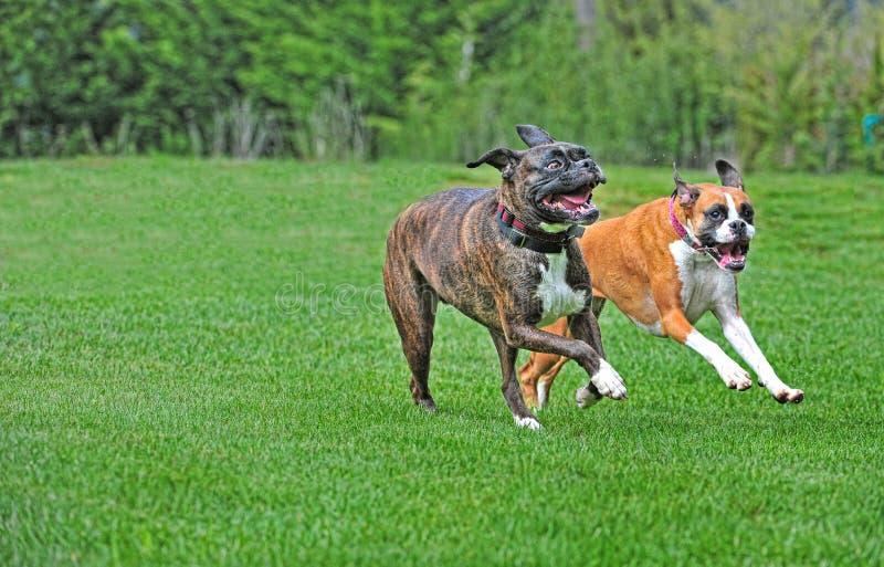 Melhores amigos, como o jogo de dois pugilistas na grama verde luxúria do verão HDR fotografia de stock