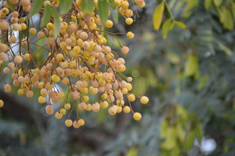 Melia azedarach boom en fruit stock foto