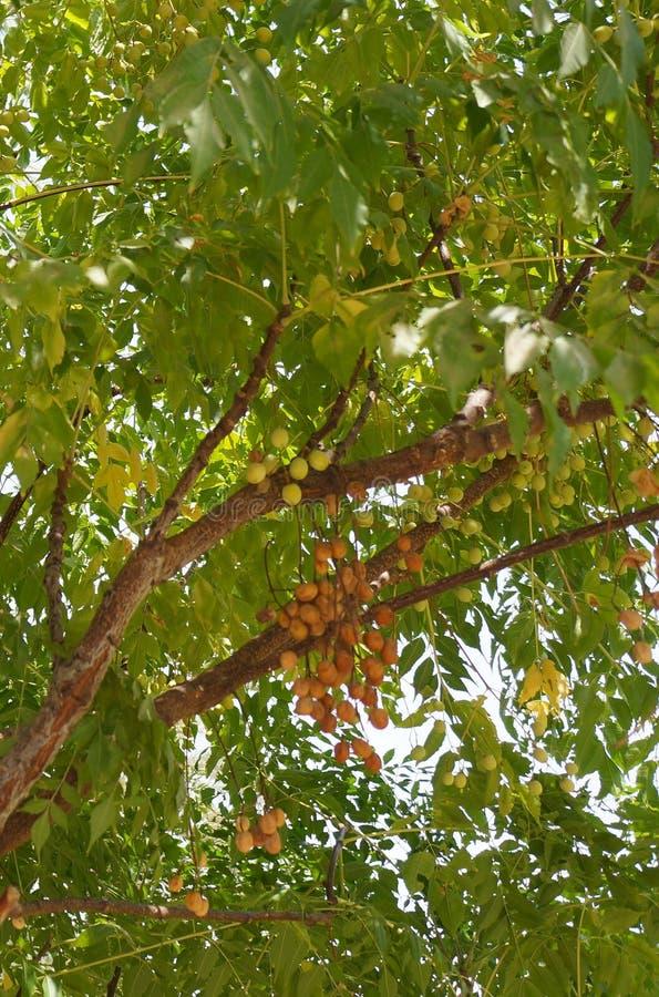 Melia azedarach of chinaberry stock afbeeldingen