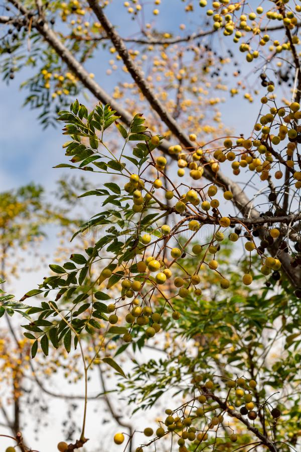 Melia azedarach or chinaberry tree, Pride of India, bead-tree, Cape lilac, Persian or Indian lilac tree. Close up stock image