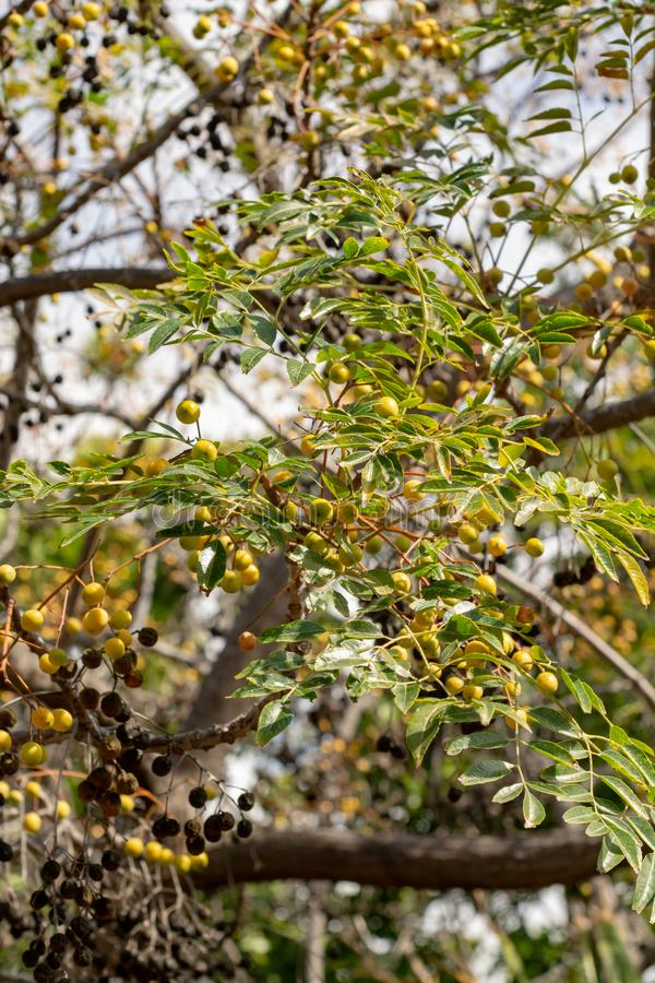 Melia azedarach or chinaberry tree, Pride of India, bead-tree, Cape lilac, Persian or Indian lilac tree. Close up stock images