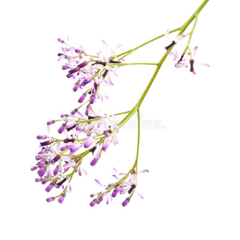 Melia azedarach, isolada em branco imagens de stock