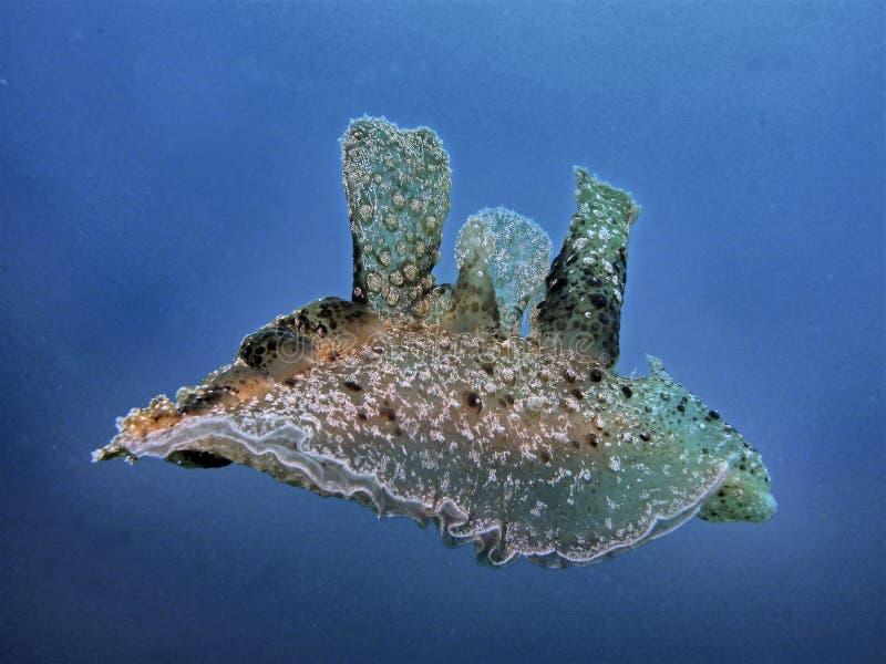 Melibe Schwimmen im blauen Meer stockfoto