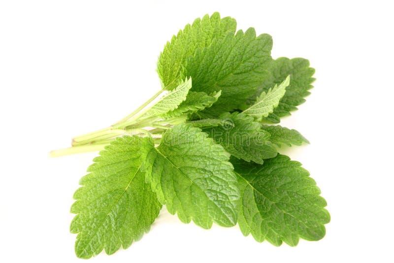 Melissa. Fresh green leaf of melissa isolated on white background royalty free stock photos
