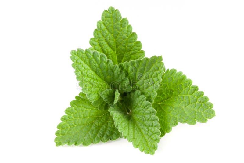 Melissa leaf or lemon balm isolated on white background stock photo