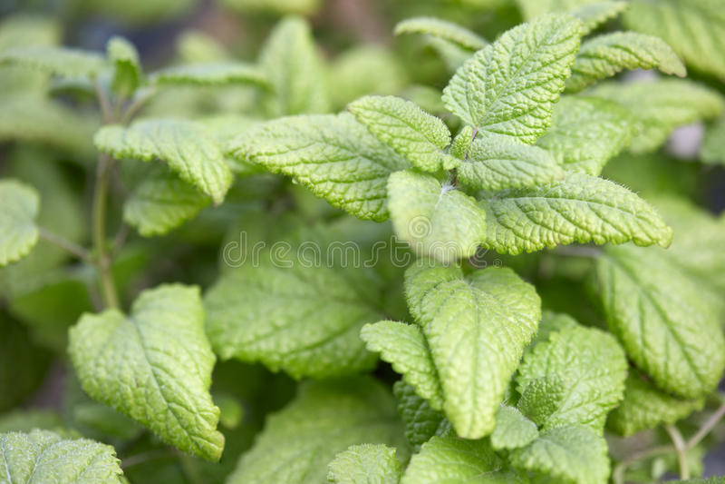 Melissenpflanzenblätter, Melissa-officinalis lizenzfreie stockfotografie