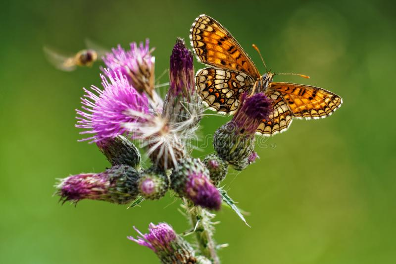 Melitae butterfly feeding on thistle Cirsium Vulgare. Green bokeh background royalty free stock images