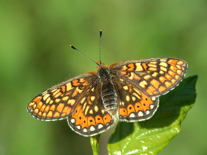 melitae euphydryas бабочки aurinia стоковое изображение