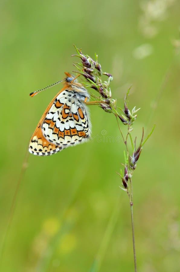 Melitaea cinxia,Glanville贝母蝴蝶 免版税图库摄影